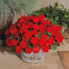 impatiens flowers shady ii cherry hybrid impatiens seeds from park seed