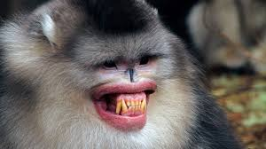 natural lipstick helps male monkeys get the science aaas