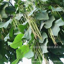 forest seed authentic catalpa seed yellow smelly indus sorbus