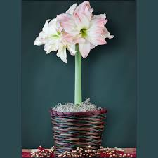 pre planted amaryllis gifts page 2 easy to grow bulbs