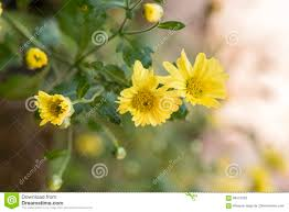 plants native to japan chrysanthemum dendranthema indicum l flowers stock photo image