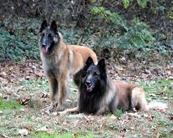 belgian sheepdog origin belgian shepherd tervuren dogs breeds pets