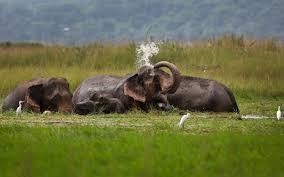 india has u0027lust for killing u0027 monkeys peacocks and elephants