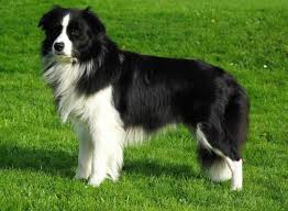 australian shepherd coat colors dog coat colors and patterns for various dog breeds