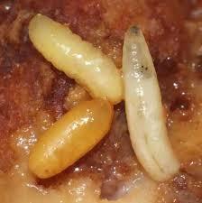 petites mouches cuisine insectes15 6