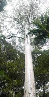 tallest tree recorded in queensland found with gis arcwatch