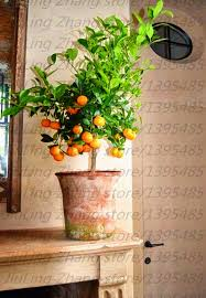 kumquat seeds picture more detailed picture about 20pcs bag
