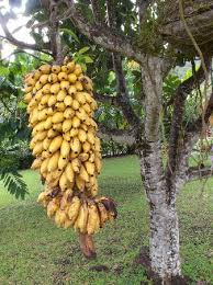 bananas on tree bananas just off the tree picture of talanoa fales accommodations