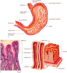 Esophagus And Stomach Anatomy Stomach Anatomy And Histology Of The Stomach