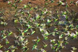 richard waring u0027s birds of australia 1000s u0026 1000s of budgies