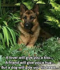 German Shepherd Memes - 120 best german shepherd memes images on pinterest german shepherd