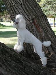 standard poodle in tree stock photo image of hair grass 218856