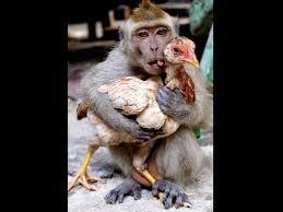 Funny Monkey Meme - beautiful 22 funny monkey meme wallpaper site wallpaper site