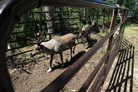 new willow reindeer park sells live animals a little