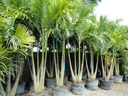 big palm clusters and trunks beautifully