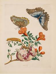 bureau vall馥 dijon sibylla merian metamorphosis of the insects of surinam