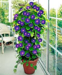 24 best vines for containers climbing plants for pots balcony