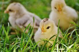 Guide To Raising Backyard Chickens by How To Raise Backyard Chickens Hirerush Blog