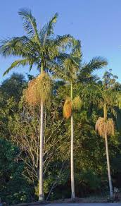 queensland native plants how to identify other people u0027s australian palms palms online