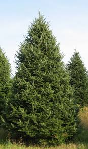 fraser fir christmas tree 7 8 foot fraiser fir christmas tree mill creek garden center