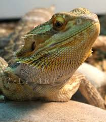 168 bearded dragons images bearded dragon