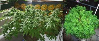 cannabis im garten gute zeiten fã r freiluft grower â thcene