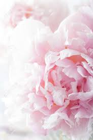 peony flower beautiful pink peony flower background stock photo picture and