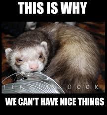 Ferret Meme - ferrets cute animals ferret funny for kids forever awesome