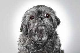 affenpinscher white when he isn u0027t shooting celebs richard phibbs is snapping pics of