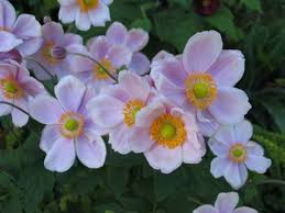 anemone plant plant now japanese anemones flaming petal