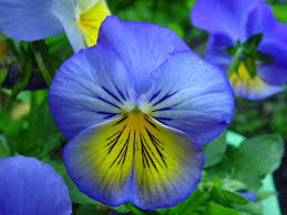 free picture blue yellow flowers