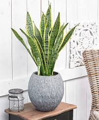 buy house plants now sansevieria bakker com