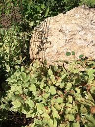 colorado native plants colorado master gardeners decorative ground cover or weed