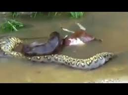 vidio film ular anaconda video pria tangkap ular anaconda sepanjang 8 meter di sungai