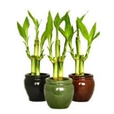 how to take care of bamboo plants in water gardening tips tricks