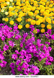 Vertical Flower Bed - petunia flower bed stock photos u0026 petunia flower bed stock images