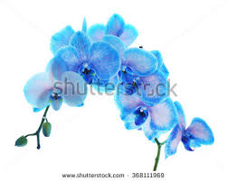 Blue Orchid Flower - beautiful blue orchid flower isolated on stock photo 371942398