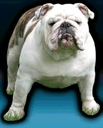 puppies indiana kenacy grand bulldogs kenacy grand bulldog puppies