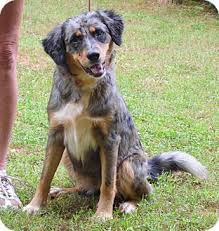 2 month old australian shepherd catahoula leopard dog australian shepherd mix omg this is what