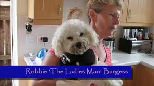 bichon frise funny bichon frise dogs with their new clothes u0026 walking backwards funny