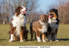 australian shepherd dog puppies portrait three australian shepherd dogs one stock photo 590876324