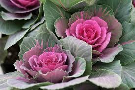 ornamental kale rosemary s