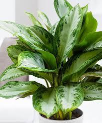 aglaonema buy house plants now chinese evergreens u0027silver bay u0027 bakker com