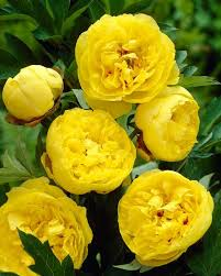 yellow peonies peony yellow crown bare roots buy yellow peonies online at