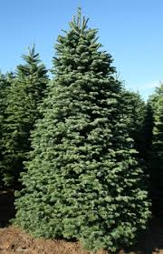 balsam fir christmas tree 8 5 9 ft noble fir trees green valley christmas trees