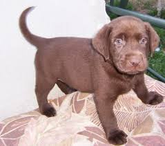 meet chocolate lab puppies petfinder adoptable chocolate