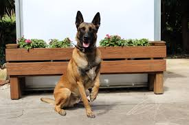 belgian malinois dog protection trained dogs sale high class k9 protection dogshigh
