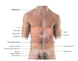 Picture Of Abdomen Anatomy Duke Anatomy Lab 2 Pre Lab Exercise