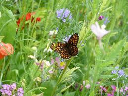 butterflies flower meadow seed mixture