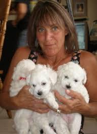bichon frise therapy dog home page bichon frise u0027